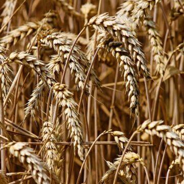 Safra de trigo em Santa Catarina deve atingir 290 mil toneladas