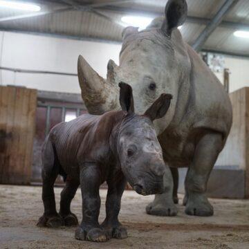 Bebê rinoceronte ameaçado de extinção nasce em zoológico na França